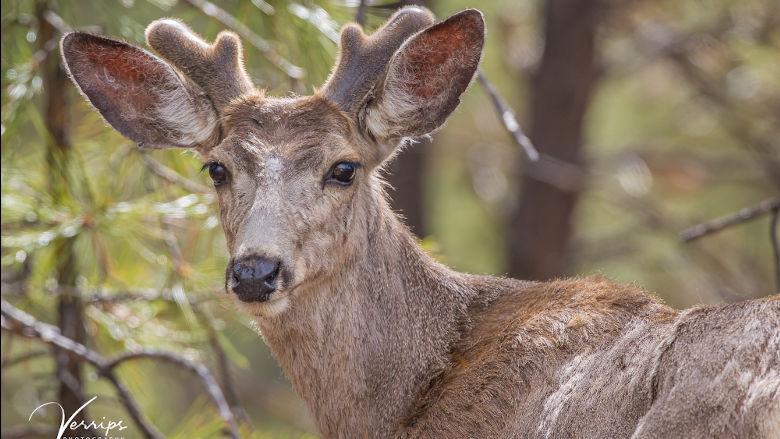 Mule Deer Buck in Velvet at the NRA Whittington Center