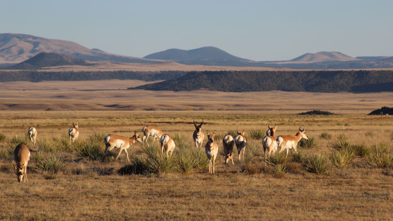 Band of Pronghorn at the NRA Whittington Center
